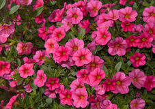 Calibrachoa, Mini Petunia, flower masses Royalty Free Stock Images