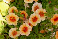 Calibrachoa `Minifamous Orange Red`, Mini petunia. Early flowering compact interspecific hybrid cultivar with trailing habit and pure white flowers with pale royalty free stock photos