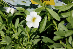Calibrachoa `Minifamous Pure White`, Mini petunia. Early flowering compact interspecific hybrid cultivar with trailing habit and pure white flowers with pale royalty free stock image