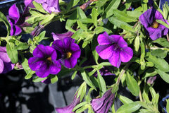 Calibrachoa `Minifamous Royal Blue`, Mini petunia. Early flowering compact interspecific hybrid cultivar with trailing habit and blue purple flowers with pale royalty free stock image