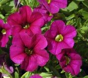 Calibrachoa 'Noa Rose' Royalty-vrije Stock Foto's