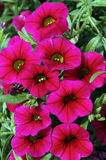 Calibrachoa Noa Rose. Cluster of bright rose-coloured mini petunias with yellow throats set against a background of green foliage Stock Images