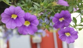 Calibrachoa púrpura y amarillo fotos de archivo
