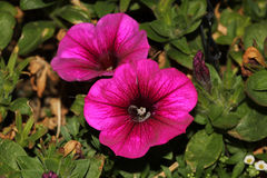 Calibrachoa parviflora, Mini petunia. Early flowering compact cultivar with trailing habit and red flowers with dark colored throat and yellow anthers Stock Photography