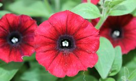 Calibrachoa rojo Blackeyed Foto de archivo libre de regalías