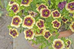 Calibrachoa rouge et jaune photo stock