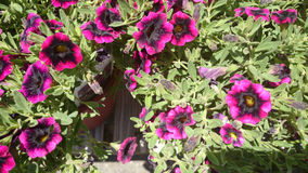 Calibrachoa 'Superbells Blackberry Punch' Stock Photo
