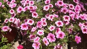 Calibrachoa 'vena rosa del cabaret', vena rosa Calibrachoa del cabaret Fotografia Stock
