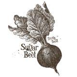 Calibre de conception de logo de vecteur de betterave Produit-légumes frais de vegetables Photos stock