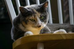 Calicò Cat Indoors Fotografia Stock