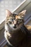 Calicó adulto Cat Meowing en la cámara Imagen de archivo