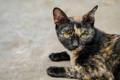 Calicó Cat Looking On The Floor Imagenes de archivo