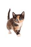 Calicó Kitten Standing Fotografía de archivo libre de regalías