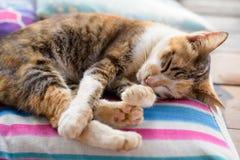 Calicó lindo Cat Sleeping On The Cushion imágenes de archivo libres de regalías