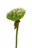 Calice di Lotus Fotografia Stock Libera da Diritti
