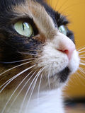 Calico-. Close-up of a calico cat Stock Image