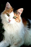 Calico. A beautiful long hair calico cat looking at the camera Stock Photography