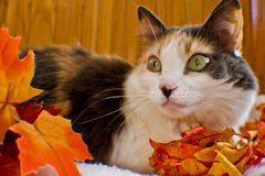 Calico Autumn Royalty Free Stock Photography