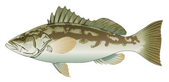 Calico Bass Stock Photography