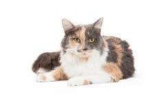 Calico Binnenlandse Longhair Cat Laying Stock Afbeelding