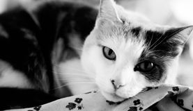 Calico in black and white Royalty Free Stock Image