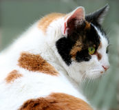 Calico cat. Portrait of a white, brown and black calico cat stock photos