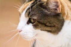 Calico Cat Stock Photos