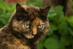 Calico Cat. Portrait of calico cat in the garden royalty free stock images