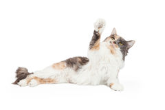 Calico Cat With Arm Extended. A playful Calico Domestic Longhair Cat extends its outstretched arm into the air stock photo