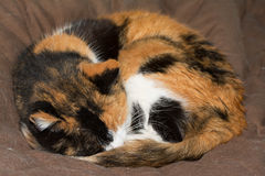 Calico cat asleep, curled up tight. On brown soft bed Stock Photography