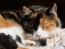 Calico cat asleep in sun Stock Photos