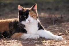 Calico cat backlit by evening sun Royalty Free Stock Photography
