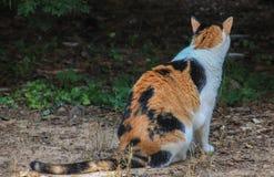 Calico cat backside Stock Photo