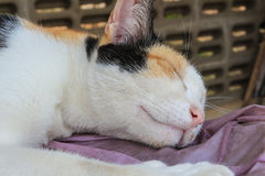 Calico cat. Beautiful Calico cat is sleeping Royalty Free Stock Photography