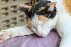 Calico cat. Beautiful Calico cat is sleeping Stock Image
