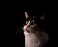 Calico cat with black, white and ginger, looking up, lit from one side. On dark background Royalty Free Stock Photo