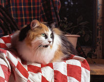 Calico cat on a blanket. A calico cat, with light green eyes, resting herself on a red and white blanket, placed on a shelf royalty free stock photo