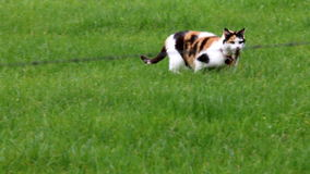 Calico cat catches mouse in dutch field