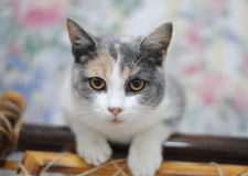 Calico cat, close portrait on the floral background wall Royalty Free Stock Images