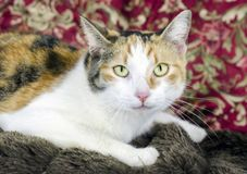 Calico cat on couch. Female calico cat adoption photograph for Walton County Animal Control shelter. Yellow gold, white and black fur, yellow eyes. Monroe stock image