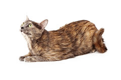 Calico cat curiously looking up Royalty Free Stock Photography