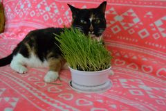 Calico cat eating cat grass. A beautiful calico cat sits on a colorful blanket while eating fresh grown green cat grass. Her tongue is sticking out royalty free stock photos