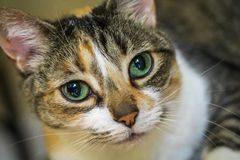 Calico cat face. Horizontal closeup photo of a calico cat`s face with bright green eyes Stock Image