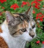 Calico Cat in the Garden. Calico cat sitting in a summer garden royalty free stock photography