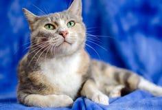 Calico Cat. Green Eyes Studio Adoption Portrait Animal Shelter Humane Society royalty free stock photo