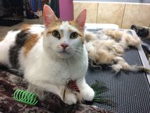 Calico cat groomed grooming shedding hairy hairballs fur cat toys Stock Photo