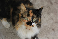 Calico cat. On the ground royalty free stock images