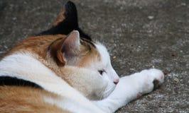 Calico cat headshot Stock Photography