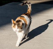 Calico Cat and her Shadow on Sidewalk Stock Images