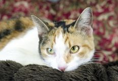 Calico cat laying on brown couch. Female Calico cat laying on couch. Adoption photograph for Walton County Animal Control shelter. Monroe, Georgia, USA Royalty Free Stock Photos